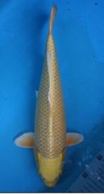 730-han-skc-ogon-40cm