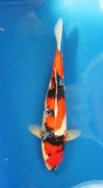 324-Nirwanakoi centre jkt-showa-43cm
