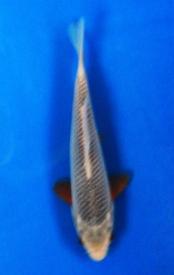 270-Nirwanakoi centre Jkt-asagi-15cm