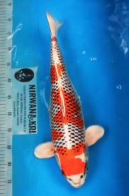298-Nirwanakoi centre Jkt-hikarimoyomono-54cm
