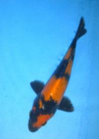 132-Muljadi-Winner Koi-Blitar-Hi Utsuri-15cm